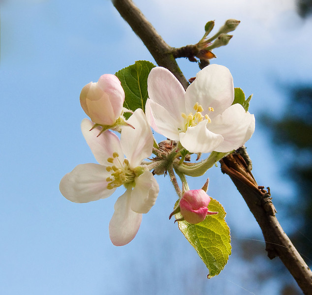 03-28-08 Apple Blossoms