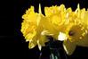 03-17-08 Daffodils