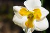 03-19-08 Daffodil