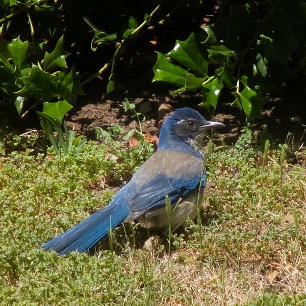 05-13-08 Blue Jay