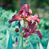 05-17-08 Maroon Iris. Thought I'd lost this one, but after moving some of the non-blooming iris's last year, this beautiful maroon one is still around. Just in a different place in the yard now.