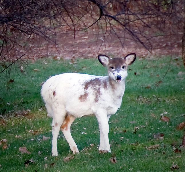 11-27-08 At Lori's in New Jersey for Thanksgiving. They have lots of deer in their neighborhood, including this albino. He's kinda cute.