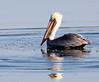10-20-08 Pelican