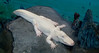 10-07-08 SF Natural History Museum - White Aligator