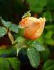 10-03-08 Rain and Roses