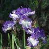 04-05-09 Purple Iris