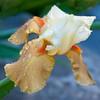 04-26-09 In The Yard - Yellow Iris