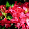 04-10-09 My Yard - Rhody