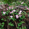 04-10-09 Sonoma Hort Clematis and Stump