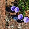 07-18-09 Photowalk Sausalito - Purple Morning Glories