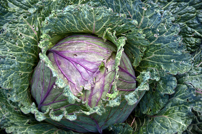 08-07-10 Blithewold - cabbage