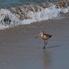 1-30-2010 Shorebird 2