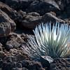 01-15-10 Haleakula Silverthorn