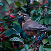 01-22-2010 - Back home from Maui and the robins are here! Each January they descend in huge flocks to eat the berries on the Cotoneaster. They have it almost stripped.