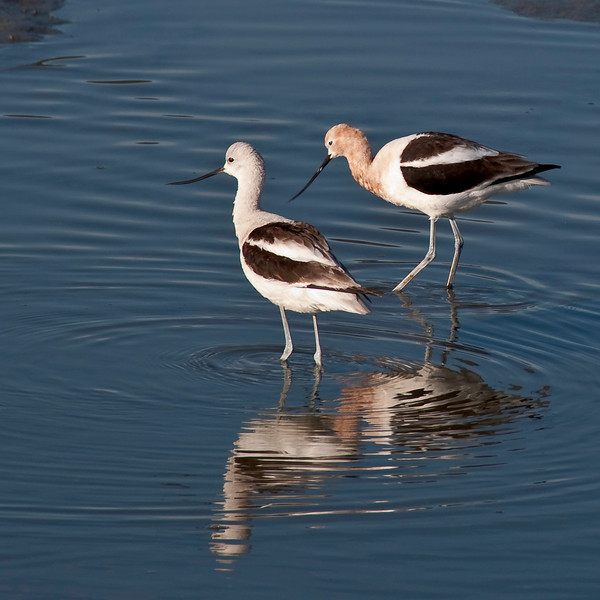 03-15-10 - had a great morning walk on the bike path in Mill Valley along Richardsons Bay - lots of birds. Here are 2 avocets.