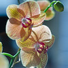 7-12-11 Orchid-4