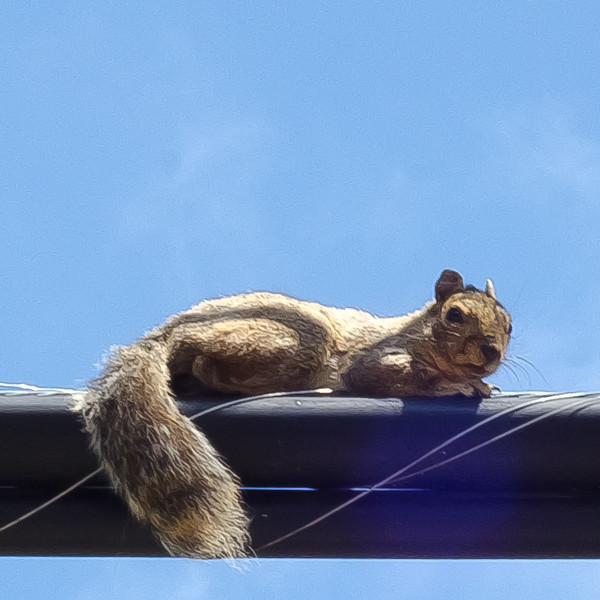 7-24-11-Squirrel on a Wire-1