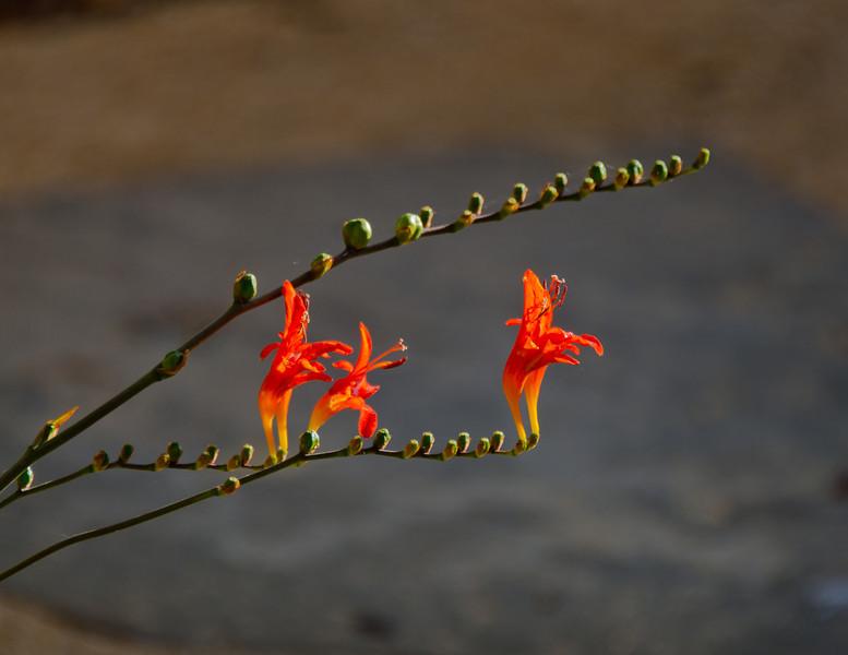 Morning walk - more flowers.