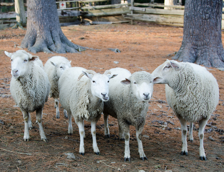 Thankgiving 2011 - Sturbridge Village - sheep lie!