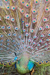 "Proud Peacock  Winner, 1st Place Special Category ""The Eyes Have It"" Wallingford Camera Club February 8, 2006"