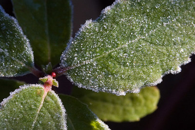 """Frost-covered Holly""  Winner, 2nd Place Snapshots Castle Craig Camera Club November 7th, 2006"