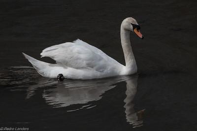 That Swan Again