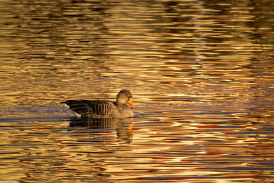 Greylag and Reflections