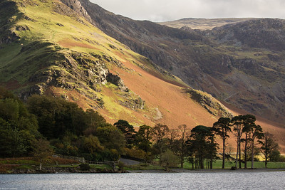 Buttermere Pines - Detail