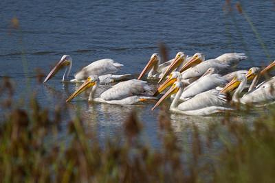 White Pelican Gang