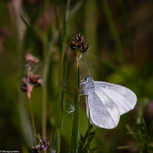 Wood White on Rush - Morag