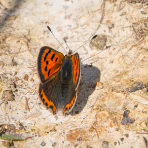 Small Copper on Clay