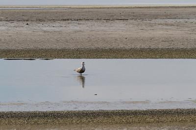 Seagull at Salton Sea