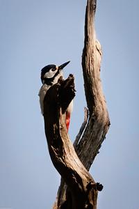 Woodpecker and Dead Tree