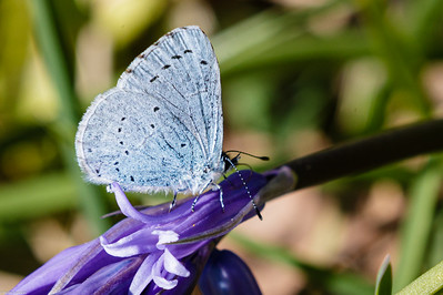 Holly Blue on Bluebell