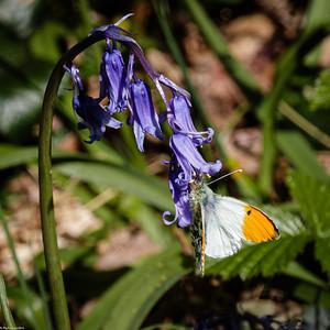 Orange Tip on Bluebell