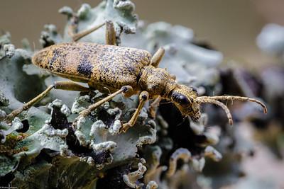 Oak Longhorn Beetle