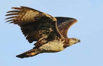 Rupert_flying martial eagle