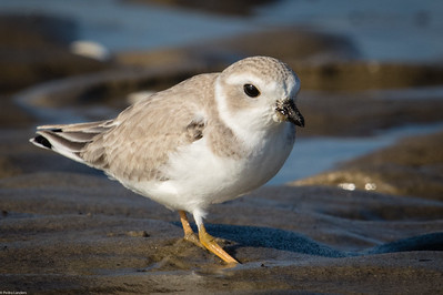 Plover 1 - Piping