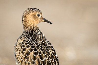 Buff-breasted Sandpiper - Detail