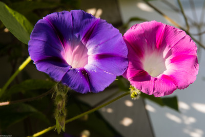 Morning Glory in Technicolor