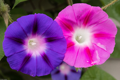 Morning Glory in Technicolor 2