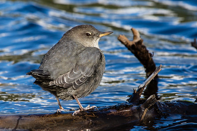 Dipper on Reflection Lake