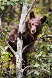 Mum, Can Bears Climb Trees?