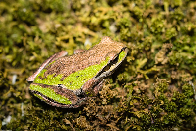 Tree Frog and Moss