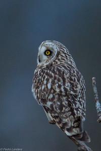 Short Eared Owl at Dusk