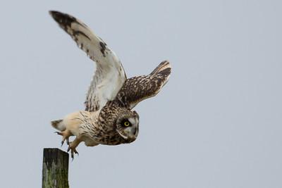 Short Eared Owl Take-off