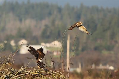 Harrier & Short Eared Owl