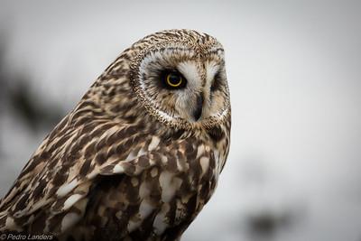 Short Eared Owl Closeup