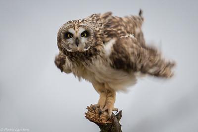 Fluffy the Owl