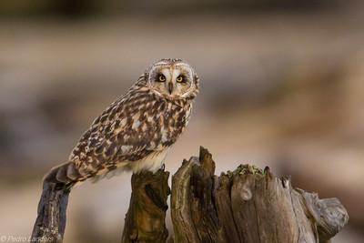 Shor Eared Owl on Driftwood
